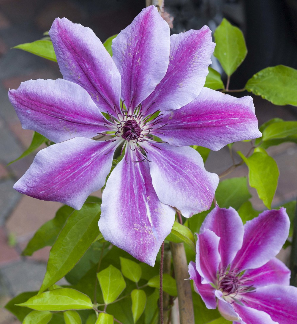 Clematis, 50-APO-Summicron and Leica M9 at f/8 (approximate 60% crop) (©Brian Bower FRPS). Click on image to enlarge