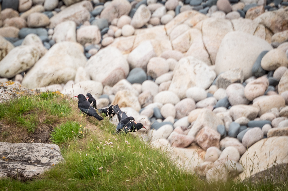 Cornish Chough Family Leica SL with 90-280 Vario Elmarit SL Asph. Having been extinct from Cornwall since 1978, a migrant from Ireland arrived in 2001 - now there are 9 breeding pair