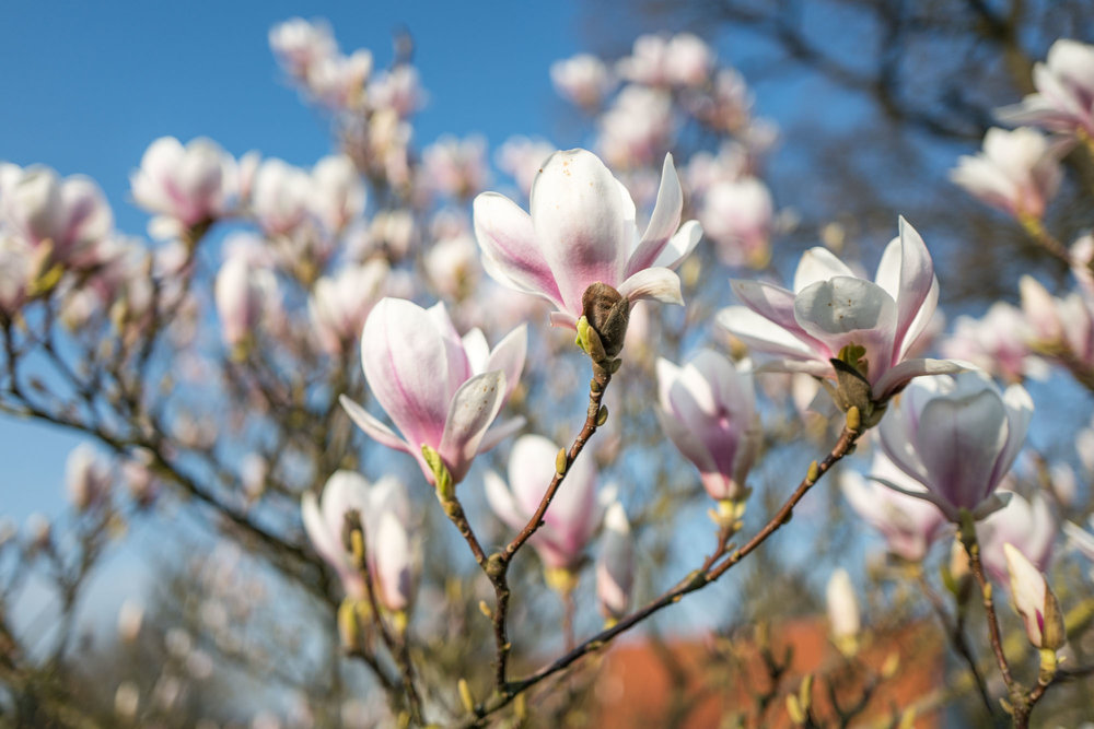 Magnolia — lots of Bokeh for such a wide angle thanks to the f/1.7 aperture