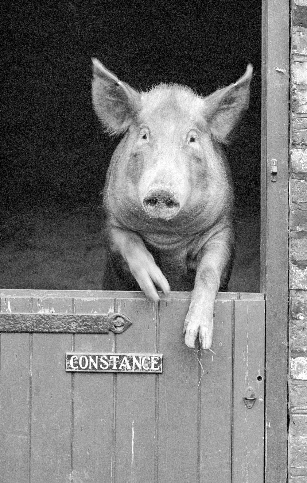 Miss P Constance The Tamworth Pig Macfilos
