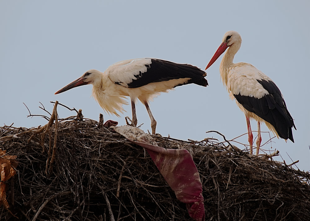 Storks: X-T2 and 100-400 f/4.5-5.6 plus 1.4TC