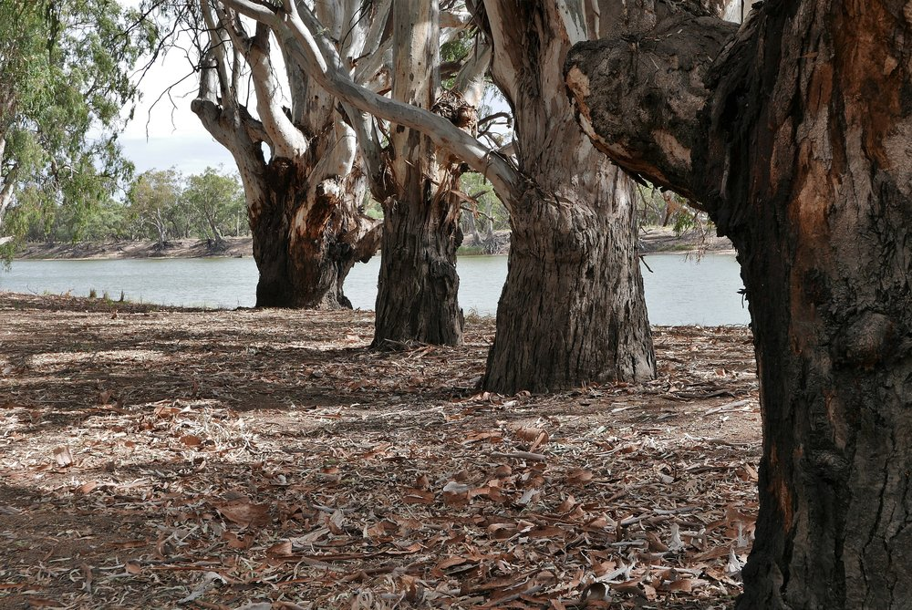 Older Red Gums, a few hundred years old. It's their world
