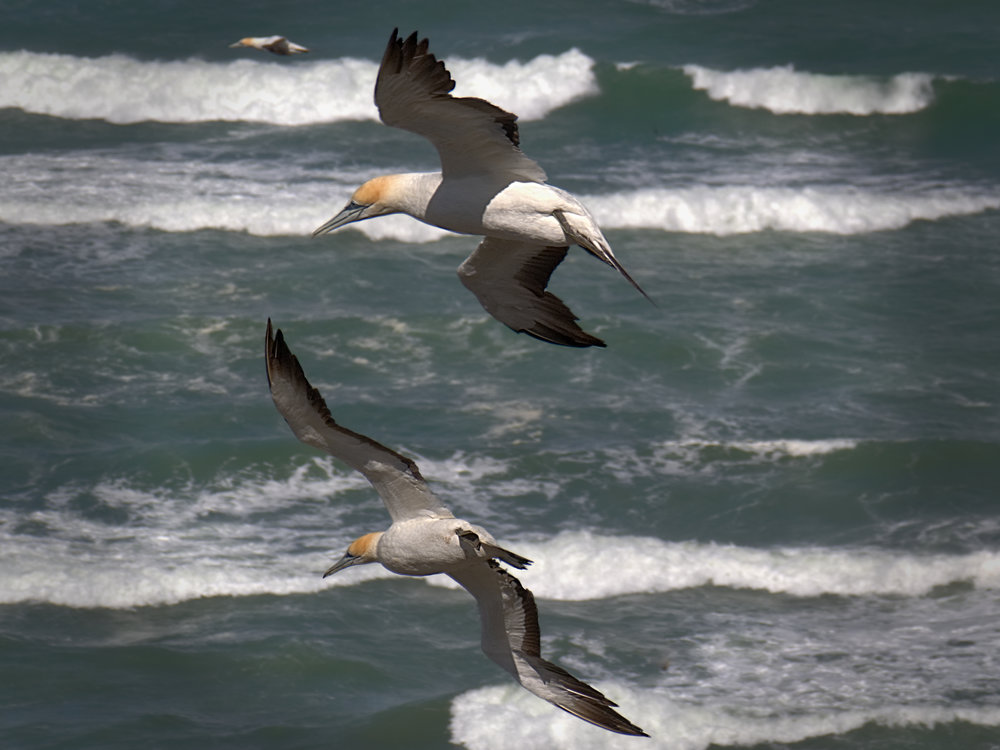 Three gannets in formation