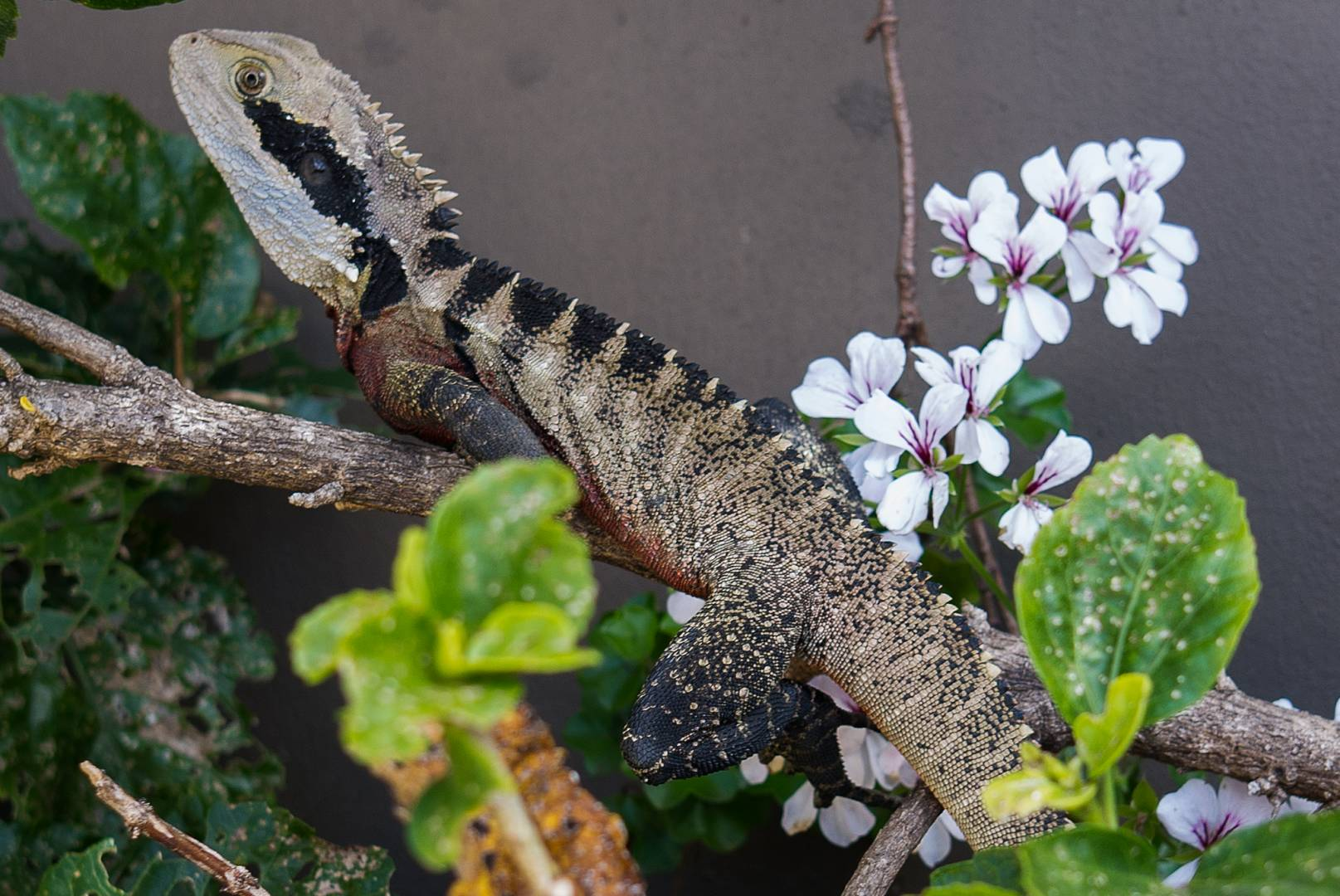 We learn such a lot at Macfilos: John Shingleton discovered this 100cm-long water dragon in his garden.