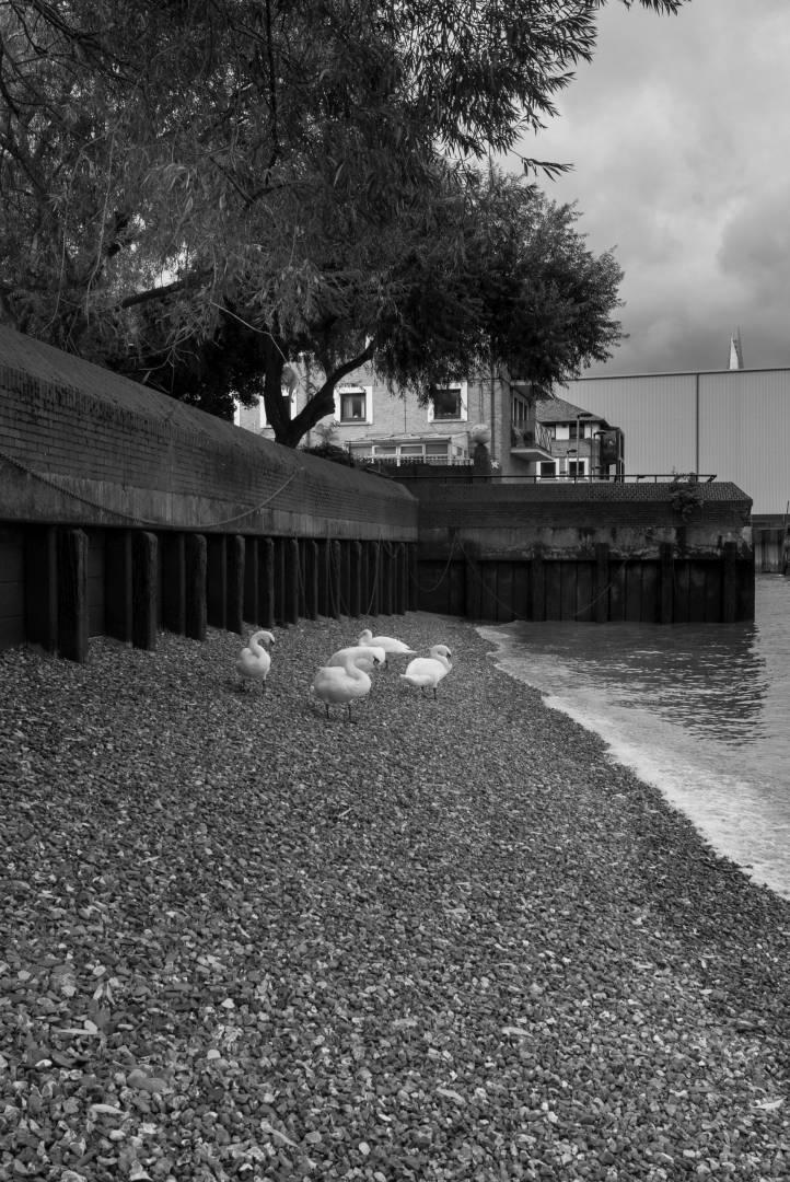 Swans resting at Bermondsey