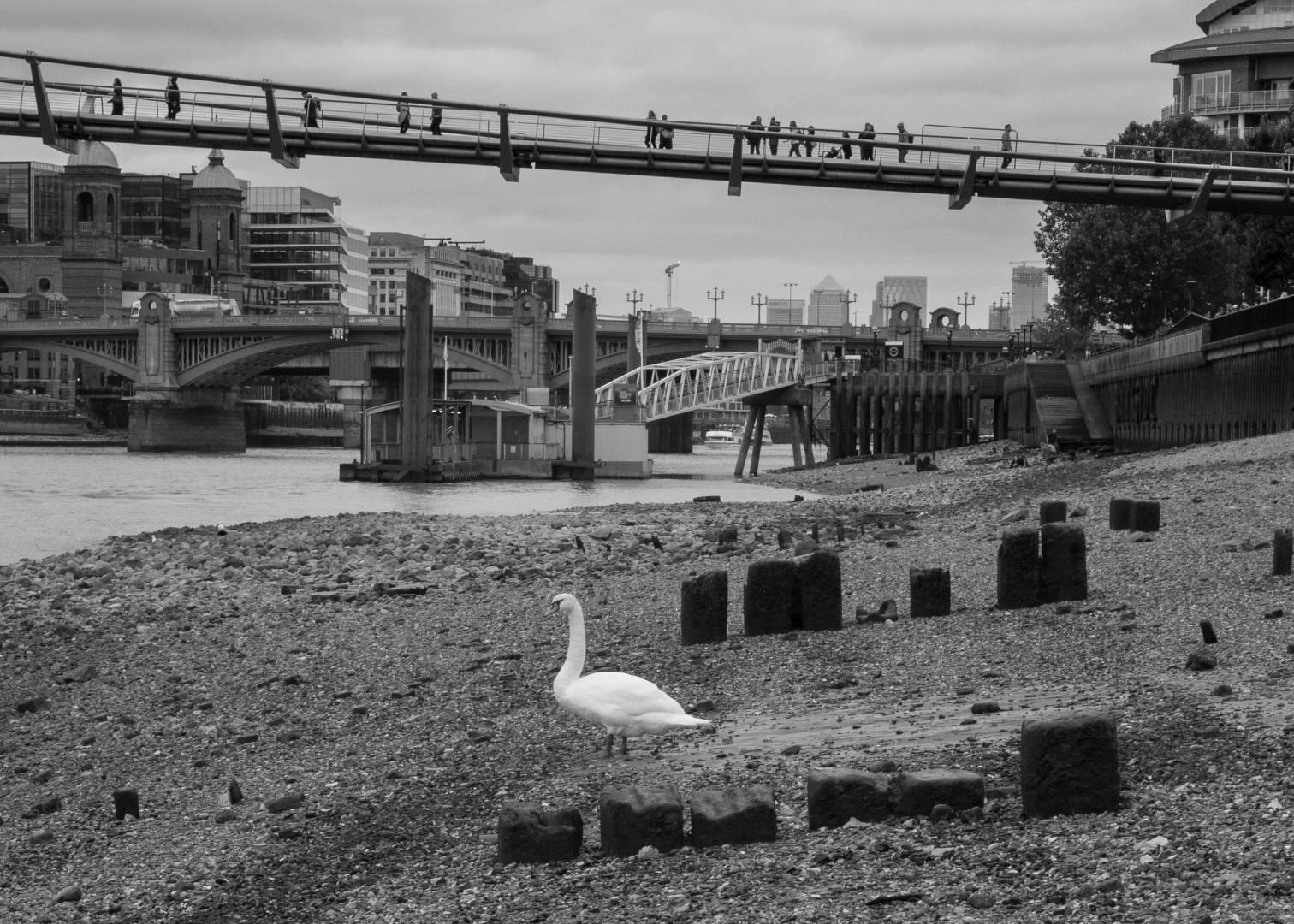 Swan resting by Millennium Bridge