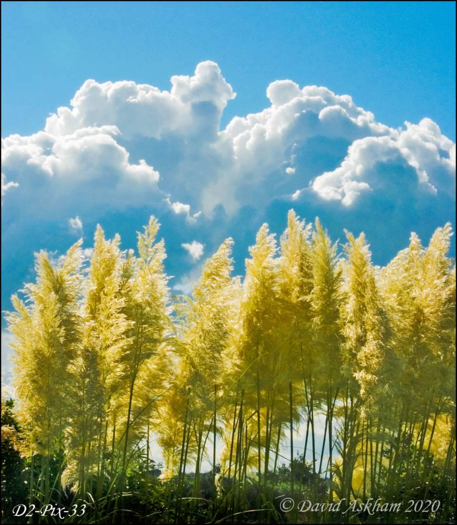 Plume-scape. (Cortaderia selloana) (Digilux 2 1/640 sec at f/8.0)