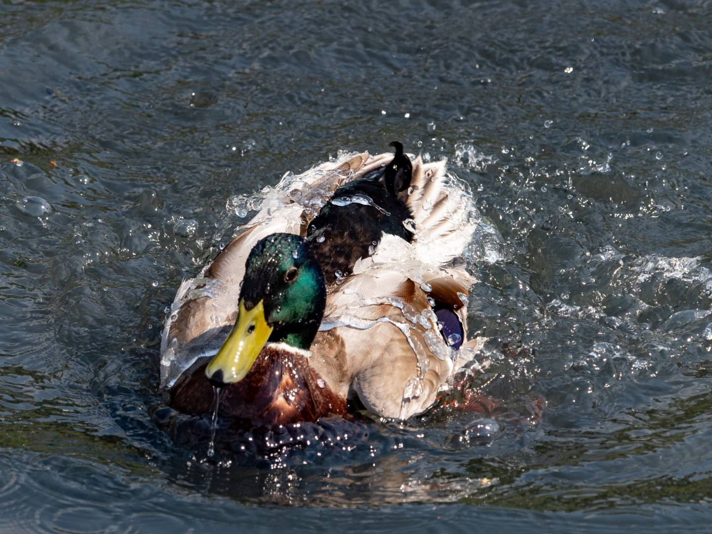Water off a duck's back: Olympus E-M1 Mk II and M.Zuiko 40-150 f/2.8 (Mike Evans)